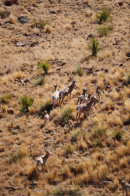 BIG HORN SHEEP.Guzzler work project Big Bend State Park .Texas Big Horn Society.Rams and Yews on Elephant Mt WMA