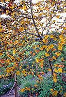 Fremontodendron californica  yellow flower Flannel Bush, California native shrub/small tree in drought tolerant garden