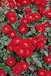 CHERRY MEIDILAND ROSE BUSH, ROSA HYBRID, MODERN SHRUB