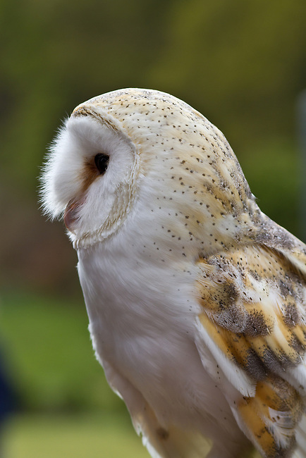 Owl side profile
