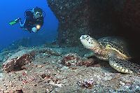 A diver (MR) encounters a green sea turtle [Chelonia mydas] resting at the entrance to a reef cavern during the day. Hawaii.