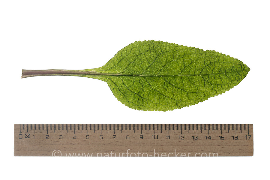 Roter Fingerhut, Digitalis purpurea, Foxglove, Fox-glove, common foxglove, purple foxglove, lady's glove, La Digitale pourpre, la Grande Digitale. Blatt, Blätter, leaf, leaves