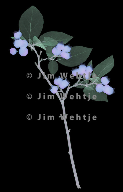 X-ray image of a blueberry branch (color on black) by Jim Wehtje, specialist in x-ray art and design images.