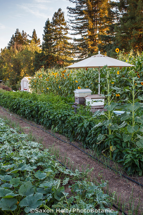 Bee hives in middle of vegetable rows in the Community Garden of Healdsburg Senior Living Center, California