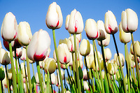 Bright spring tulips against a clear blue sky