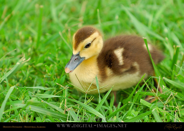 Muscovy Duckling, Huntsville, Alabama