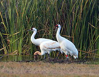 Whooping crane family. Note one adult is fitted with a tag and what appears to be a radio transmitter.