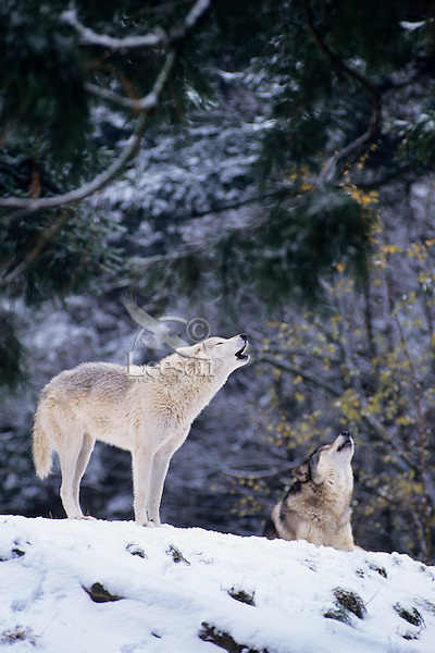 Gray or timber wolves howling