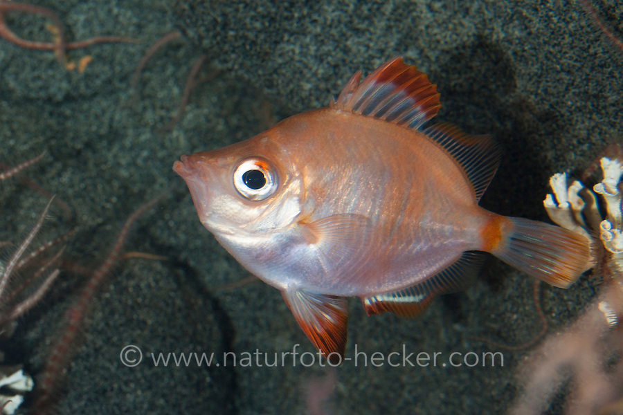 Eberfisch, Ziegenfisch, Capros aper, Boarfish