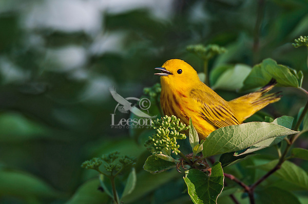 Singing male Yellow Warbler (Dendroica petechia).  A common warbler found throughout North America.  Spring.