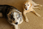 Malamute and Golden Labrador on carpet.