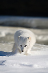 Arctic fox (Alopex lagopus) walking in the snow/ice