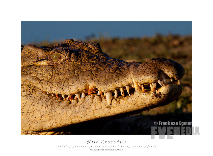 Nile Crocodile (Crocodylus Niloticus)...Photographed a minute before the sun disappeared below the horizon...June 2009, winter..Balule Private Nature Reserve, Greater Kruger National Park, Limpopo, South Africa.