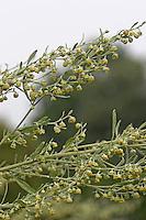 Echter Wermut, Absinth, Artemisia absinthium, Absinthe, Common Wormwood, Armoise absinthe