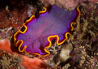 An underwater closeup of a fushia flatworm at Pupukea Marine Reserve, North Shore, O'ahu.