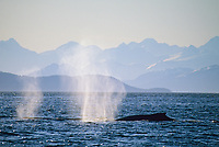 Blow spout spray from humpback whales with the distant Chugach mountains in  Prince William Sound, Alaska