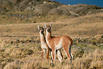 Two guanaco, Torres del Paine National Park, Chile