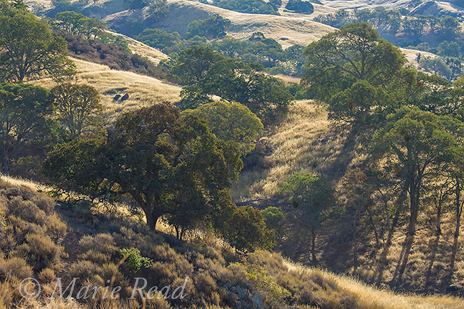 Mount Diablo State Park, oak savanna habitat in autumn, California, USA