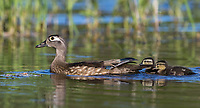 Wood Duck - Hen & Ducklings in northern Wisconsin