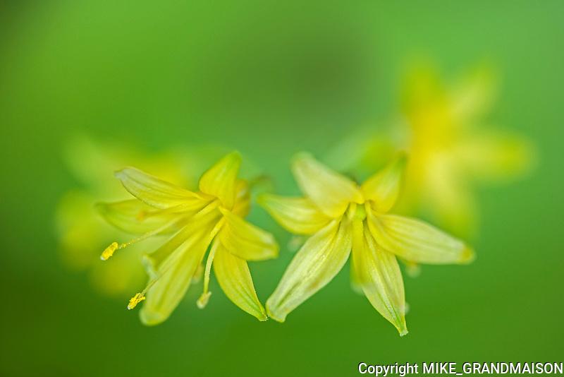 Yellow blue-bead lily (Clintonia borealis) blossoms <br /><br />Ontario<br />Canada