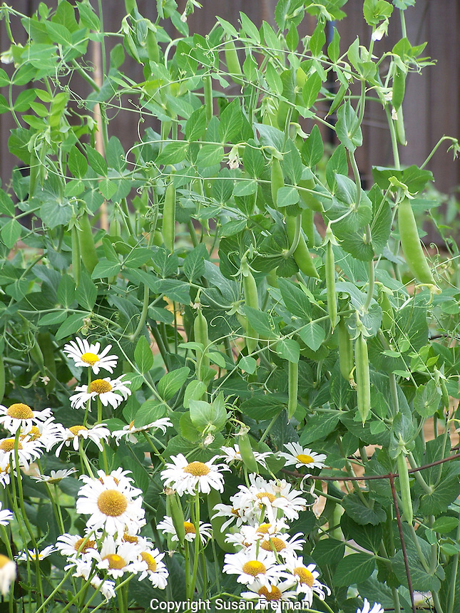 Sugar snap peas and daisies in the Piermont Community Garden, Piermont, NY