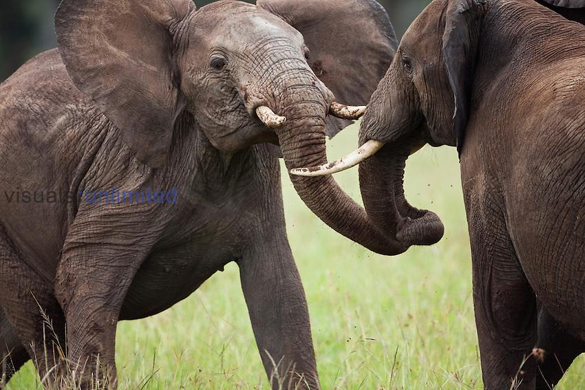 Male African Bush Elephant (Loxodonta africana) playing, Masai Mara National Reserve, Kenya.