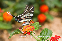 03006-002.18 Zebra Swallowtail (Eurytides marcellus) on Red Spread Lantana (Lantana camara) Marion Co.  IL
