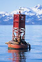 Steller's sea lions hauled out on buoy in Prince William Sound, Alaska.