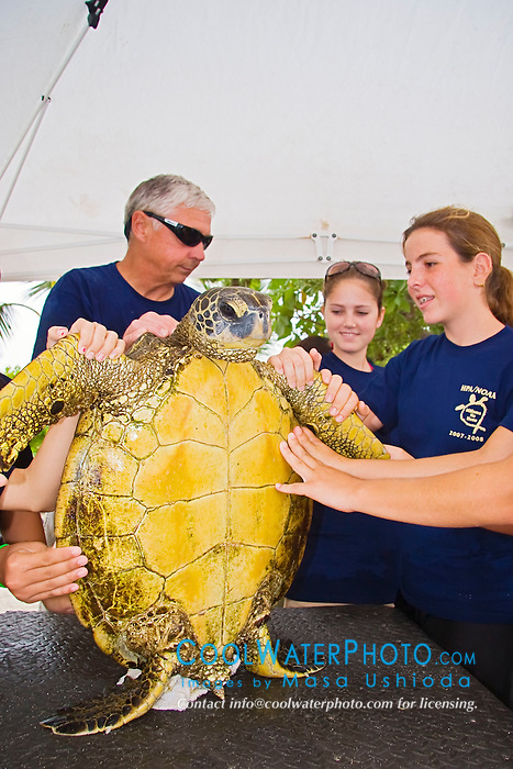 Teacher Marc Rice and his students from Hawaii Preparatory Academy (HPA), examining a Green Sea Turtle, Chelonia mydas, for its over all health, Sea Turtle Research, organized by researcher George Balazs, PhD, NOAA National Marine Fisheries Service (NMFS), HPA students and teachers (NOAA/HPA Marine Turtle Program), and ReefTeach volunteers at Kaloko-Honokohau National Historical Park, Kona Coast, Big Island, Hawaii, Pacific Ocean.