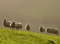 Part of the Dorset X Texel sheep flock.