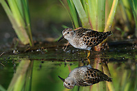 Adult Least Sandpiper (Calidris minutilla) in breeding plumage. King County, Washinton. May.