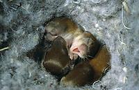 Rötelmaus, Junge, Jungtiere, Tierbabies im Nest, Rötel-Maus, Waldwühlmaus, Wald-Wühlmaus, Wühlmaus, Maus, Clethrionomys glareolus, Myodes glareolus, bank vole