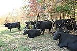 Black Angus Cattle in Ohio.