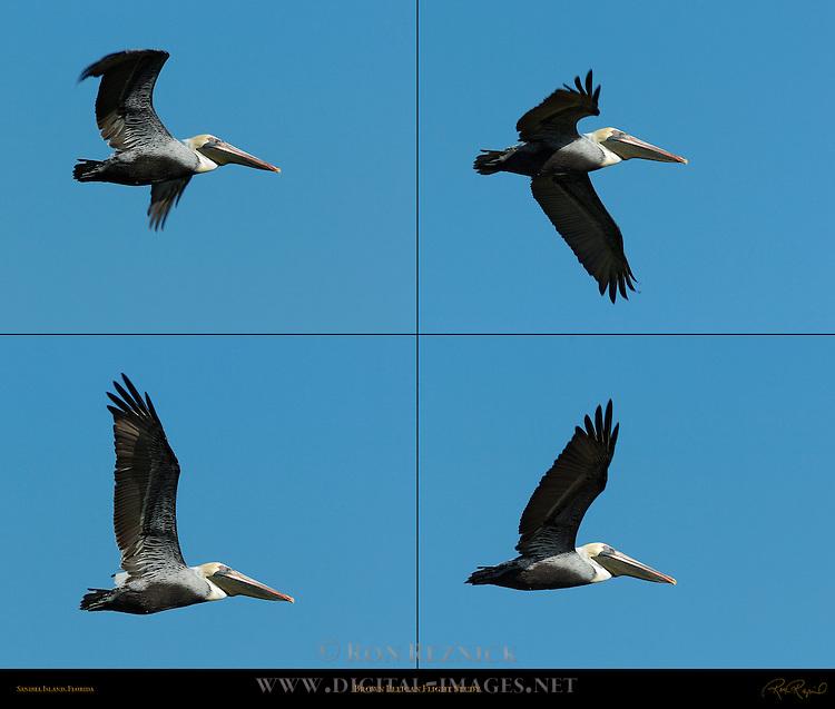 Brown Pelican Flight Study, Eastern Brown Pelican, Pelecanus occidentalis carolinensis, Sanibel Island, Florida
