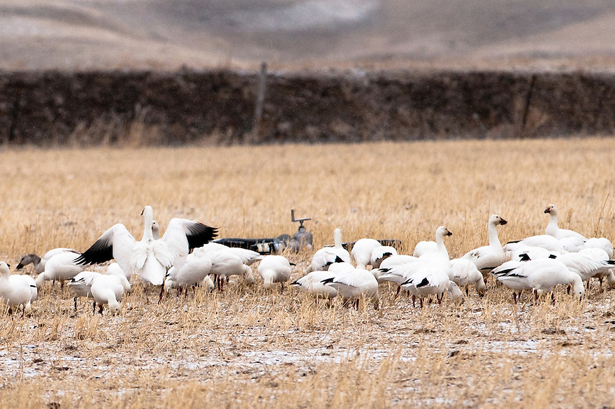 A group of snow geese forages on waste grain on the Greenfield Bench east of Freezeout Lake National Wildlife Refuge near Choteau, Montana.
