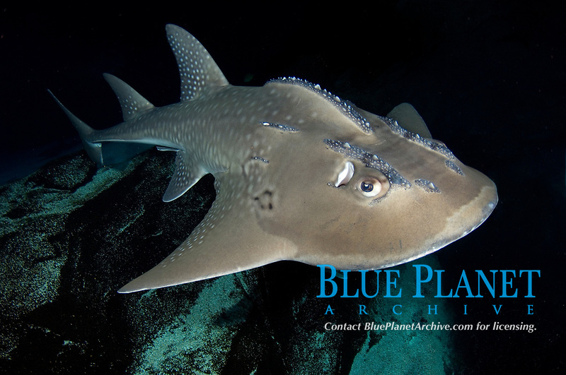 Bowmouth Guitarfish, Rhina ancylostoma. The only member of the Sharkfin Guitarfish family (Rhyncobatidae) with a broadly rounded snout. Australia.