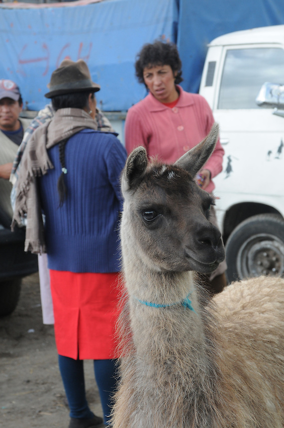 Weekly indigenous animal market in town of Saquisili located in the central highlands of Ecuador.