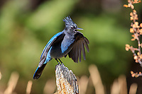 Steller's Jay (Cyanocitta stelleri macrolopha) performing an open wing display in Rocky Mountain National Park, Colorado.