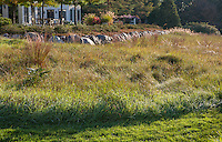 Mown lawn path at edge of meadow using Little Bluestem grass (Schizachyrium scoparium) in reddish fall color in midwest meadow garden