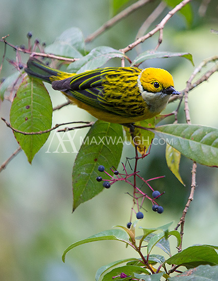 The silver-throated tanager is one of my favorite birds at Savegre.