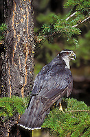 Northern Goshawk. Rocky Mountains. North America. (Accipiter gentilis).