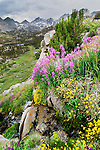 Wildflowers in Rock Creek Canyon of the High Sierra, Ca.