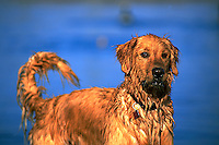Portrait of a wet, alert Golden Retriever dog.