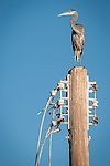 Great blue heron on top of an old power pole<br /> <br /> (Ardea herodias), Salton Sea, Calif.