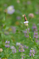 Queen (Danaus gilippus), adult feeding on American basket-flower (Centaurea americana), Hill Country, Central Texas, USA