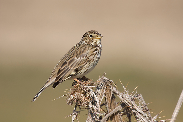 Corn Bunting - Miliaria calandra. L 16-18cm. Plump-bodied bunting with non-descript plumage but distinctive song. Dangles legs when flying short distances. Forms flocks in winter. Sexes are similar. Adult and juvenile have streaked brown upperparts and whitish underparts, streaked on breast and flanks, and flushed buff on breast. Bill is stout and pinkish buff. Voice Utters a tsit call. Jingling song is sung from fencepost or overhead wire. Status Local and declining bird of cereal fields, particularly barley. Has suffered terribly from modern farming practises.