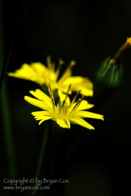 Nipplewort (Lapsana Communis), Coast mountain range, Oregon