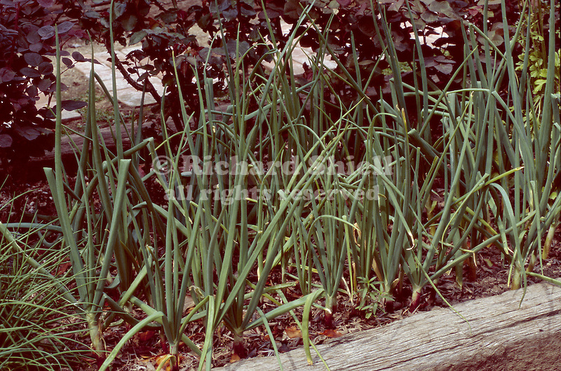 11799-CQ Bermuda Onions, Allium cepa, edible vegetable in raised bed by roses, in March, at Bakersfield, CA USA.