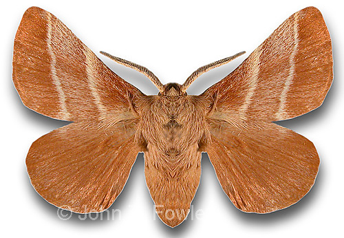 Adult moth of eastern tent caterpillar Malacosoma americanum<br />
