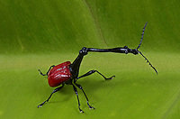 The Giraffe Weevil (Trachelophorus giraffa) is a weevil endemic to Madagascar. It derives its name from an extended neck much like that of the common giraffe.